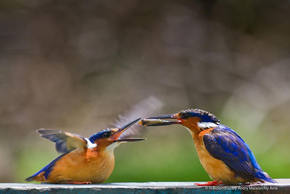 © Nicky Aina [Kingfisher parental care]